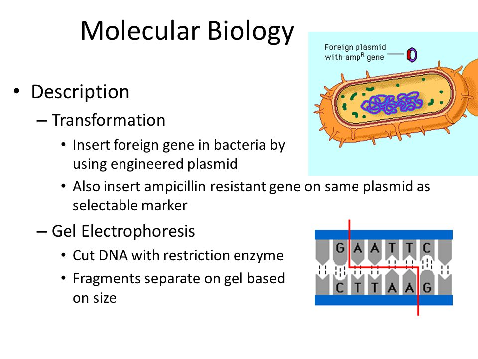 Molecular Biology Description Transformation Gel Electrophoresis
