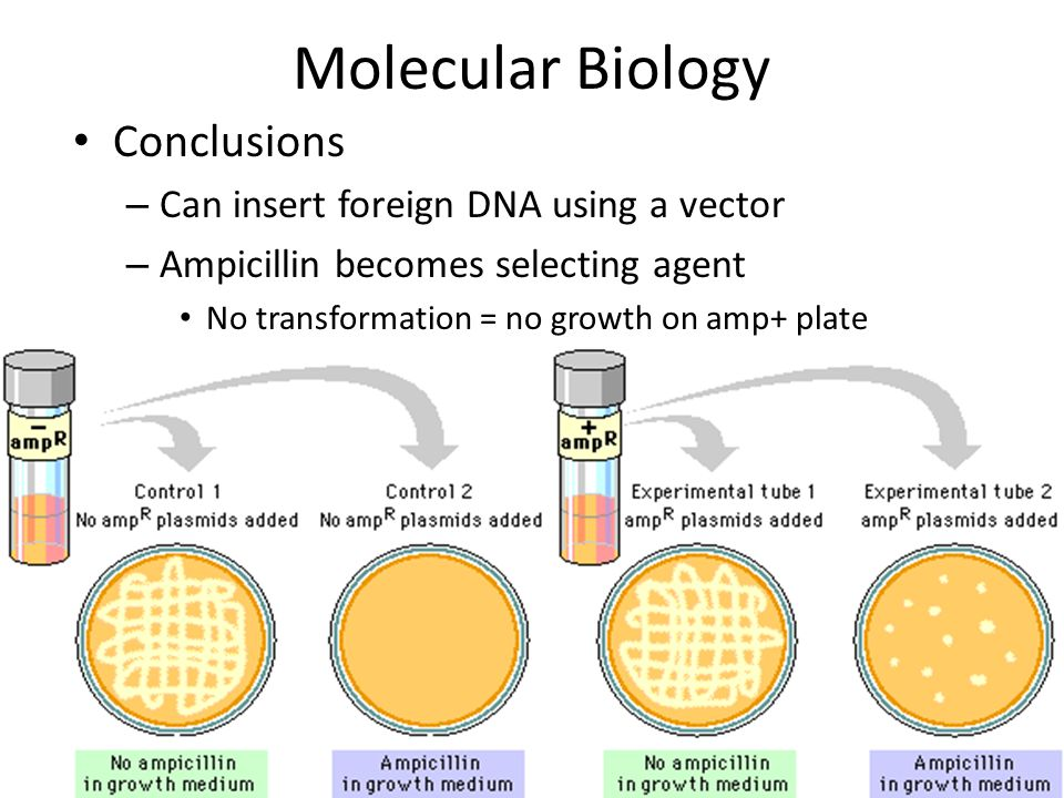 Molecular Biology Conclusions Can insert foreign DNA using a vector