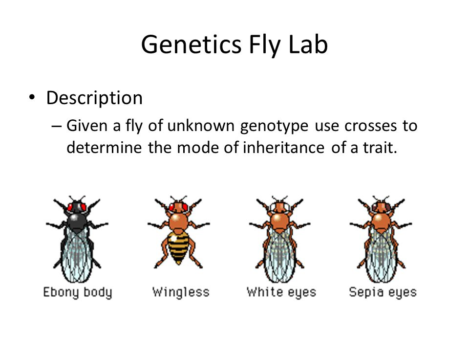 Genetics Fly Lab Description