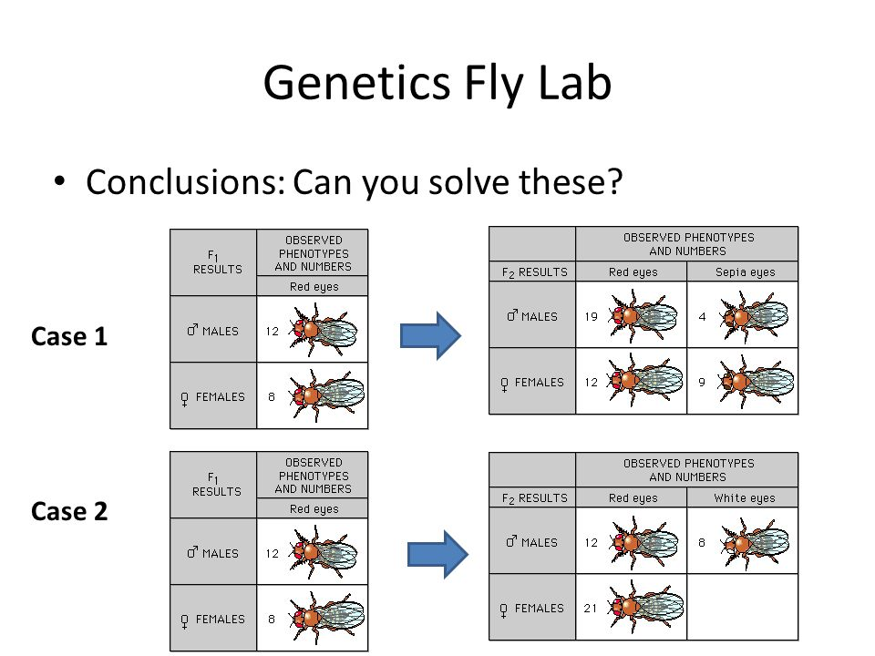 Genetics Fly Lab Conclusions: Can you solve these Case 1 Case 2