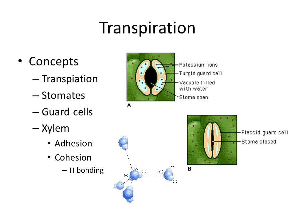Transpiration Concepts Transpiation Stomates Guard cells Xylem
