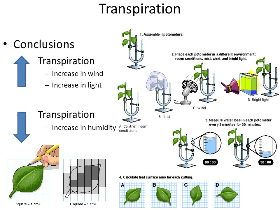 Transpiration Conclusions Transpiration Increase in wind