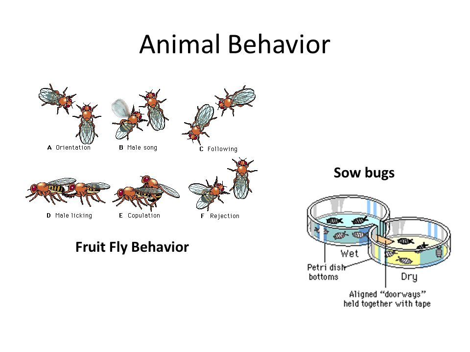 Animal Behavior Sow bugs Fruit Fly Behavior