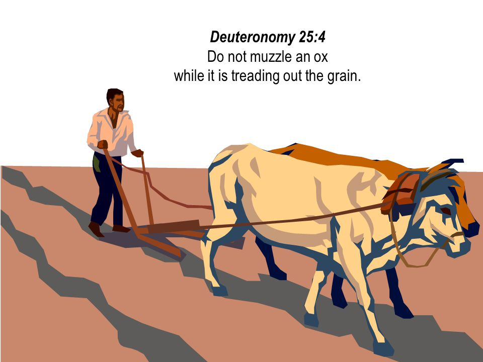 #10 08 August 2014. Deuteronomy 25:4 Do not muzzle an ox while it is treading out the grain.