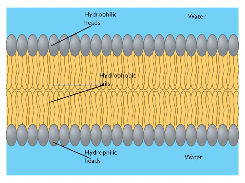 Hydrophilic heads Water Hydrophobic tails Hydrophilic heads