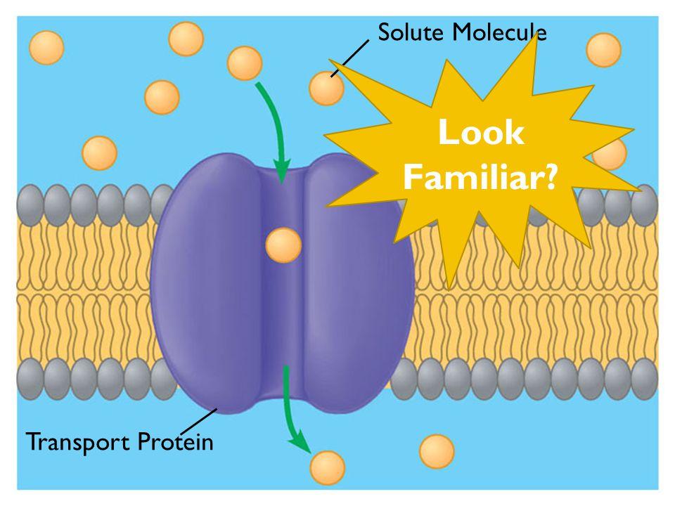 Solute Molecule Transport Protein Look Familiar