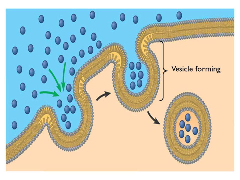 Vesicle forming Figure 5.19B
