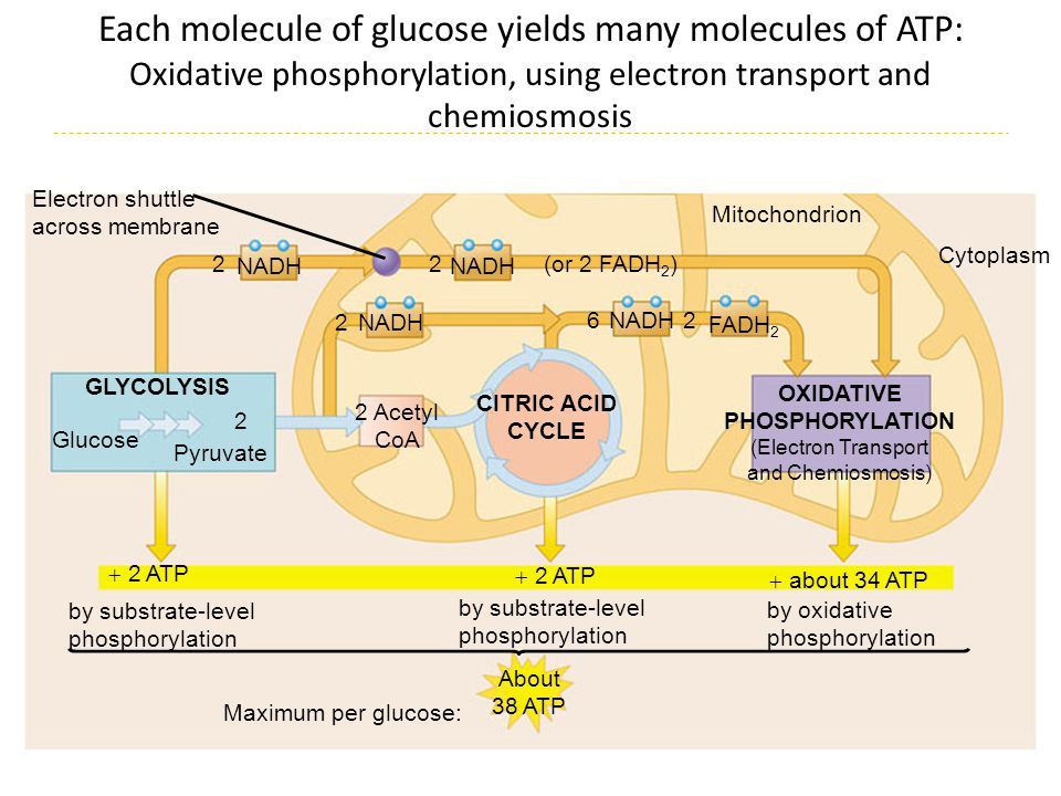 Each molecule of glucose yields many molecules of ATP: Oxidative phosphorylation, using electron transport and chemiosmosis