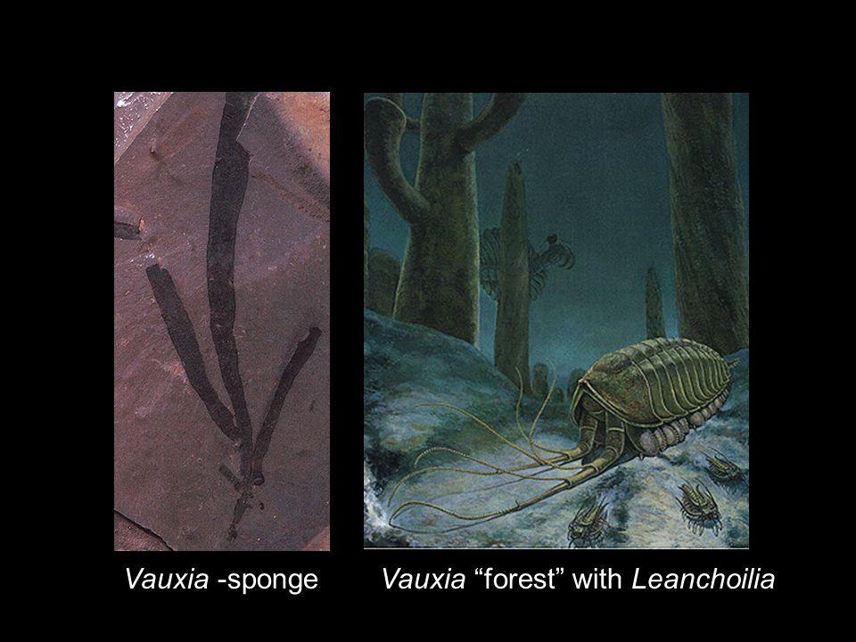 Vauxia -sponge Vauxia forest with Leanchoilia