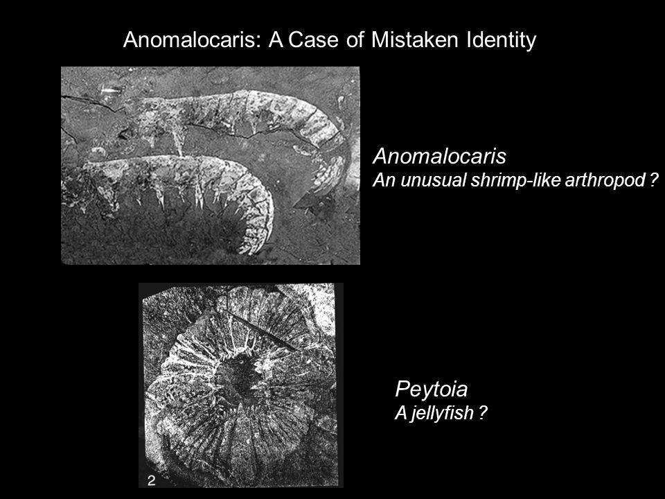Anomalocaris: A Case of Mistaken Identity
