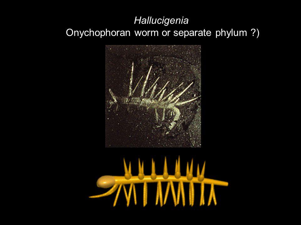 Onychophoran worm or separate phylum )