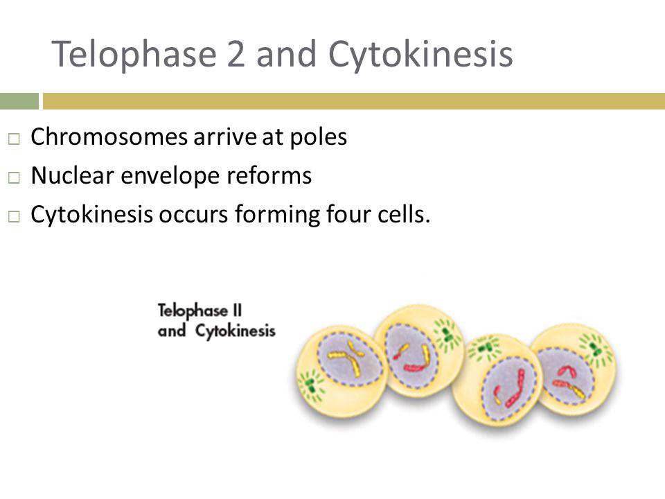 Telophase 2 and Cytokinesis