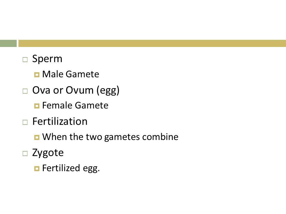 Sperm Ova or Ovum (egg) Fertilization Zygote Male Gamete Female Gamete