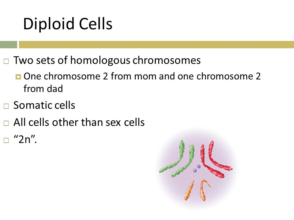 Diploid Cells Two sets of homologous chromosomes Somatic cells
