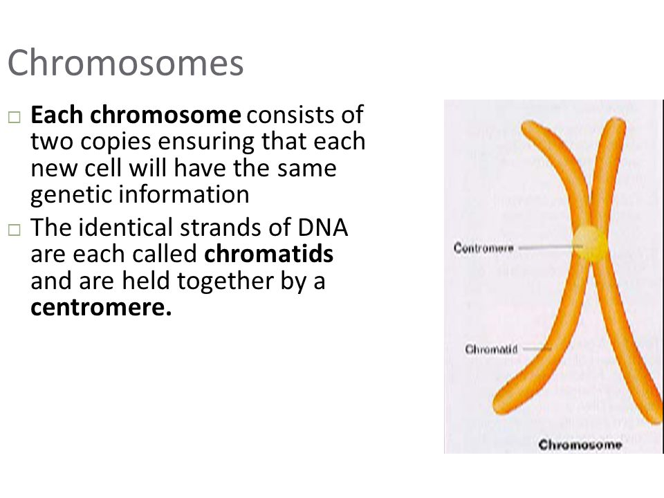 Chromosomes Each chromosome consists of two copies ensuring that each new cell will have the same genetic information.