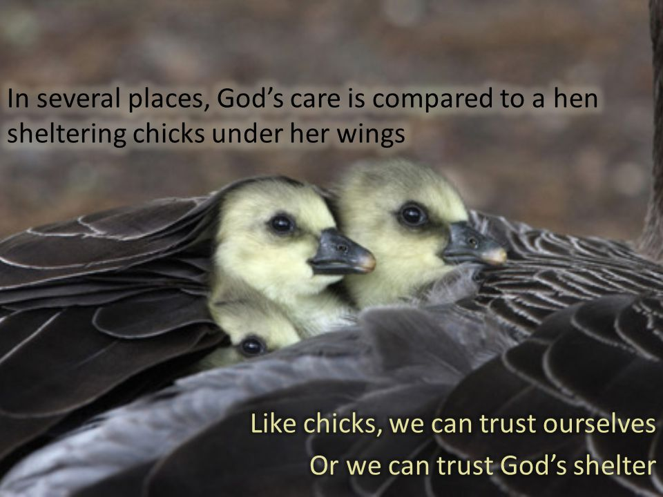 Like chicks, we can trust ourselves Or we can trust God's shelter