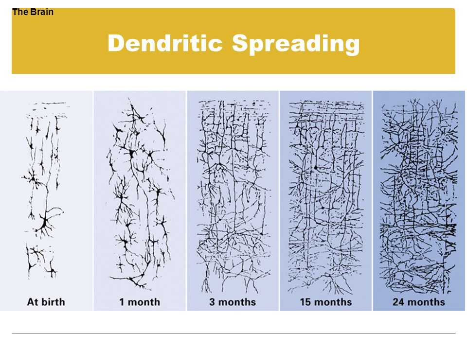 The Brain Dendritic Spreading