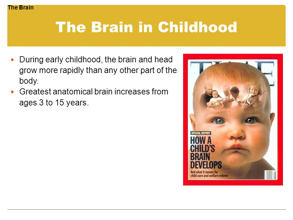 The Brain in Childhood During early childhood, the brain and head