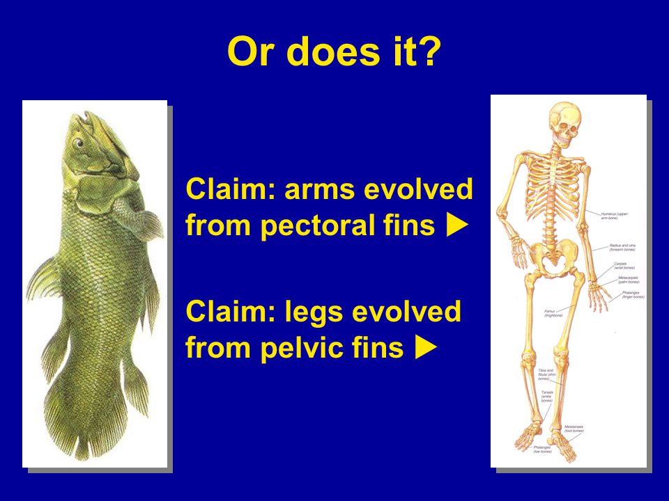 Or does it Claim: arms evolved from pectoral fins u