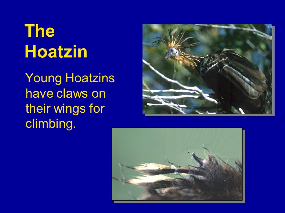 The Hoatzin Young Hoatzins have claws on their wings for climbing.
