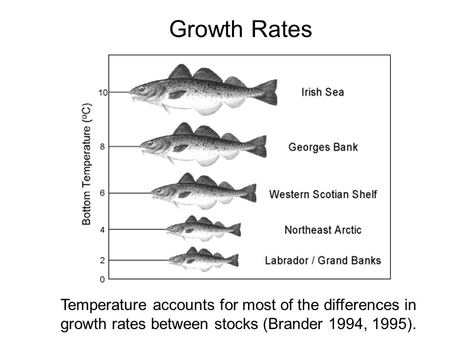 Growth Rates Temperature accounts for most of the differences in growth rates between stocks (Brander 1994, 1995).