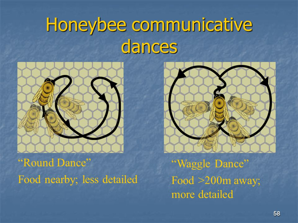 Honeybee communicative dances
