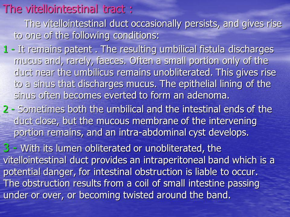 The vitellointestinal tract :