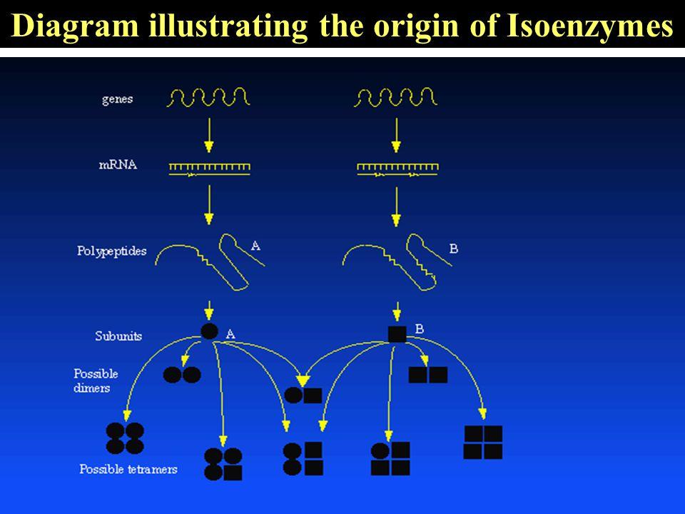 Diagram illustrating the origin of Isoenzymes