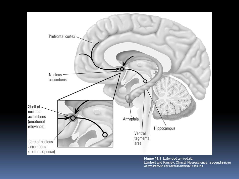 Figure 11. 1 Extended amygdala