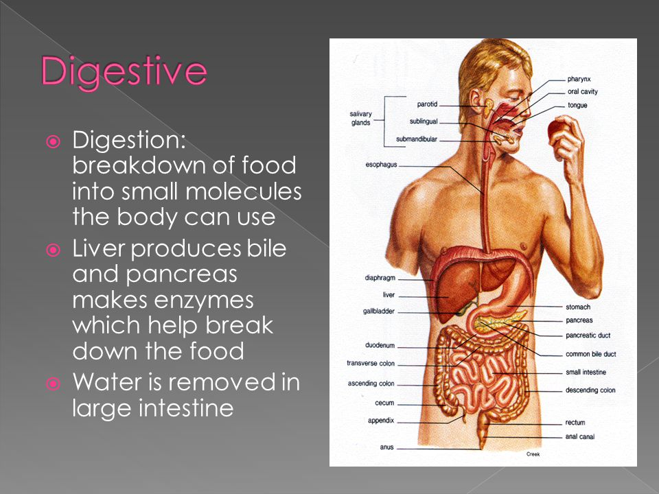 Digestive Digestion: breakdown of food into small molecules the body can use.