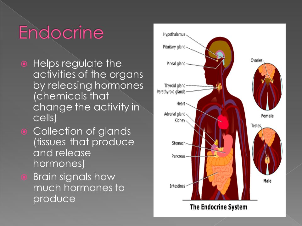 Endocrine Helps regulate the activities of the organs by releasing hormones (chemicals that change the activity in cells)
