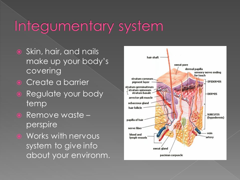 Organ systems and Homeostasis - ppt video online download