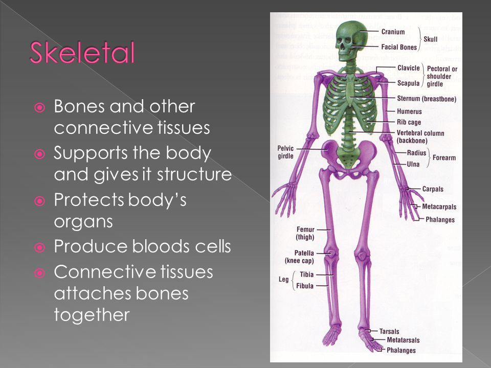 Skeletal Bones and other connective tissues