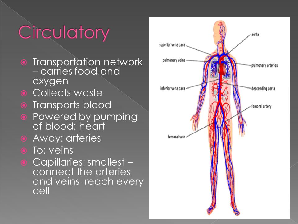 Circulatory Transportation network – carries food and oxygen