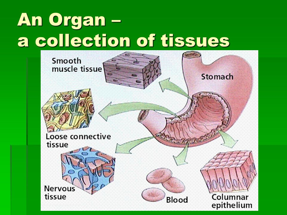 An Organ – a collection of tissues