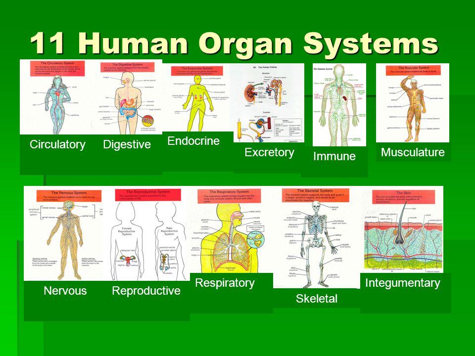11 Human Organ Systems Endocrine Circulatory Digestive Excretory