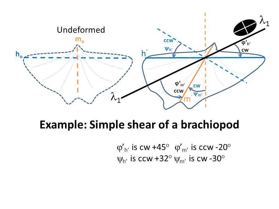 Example: Simple shear of a brachiopod
