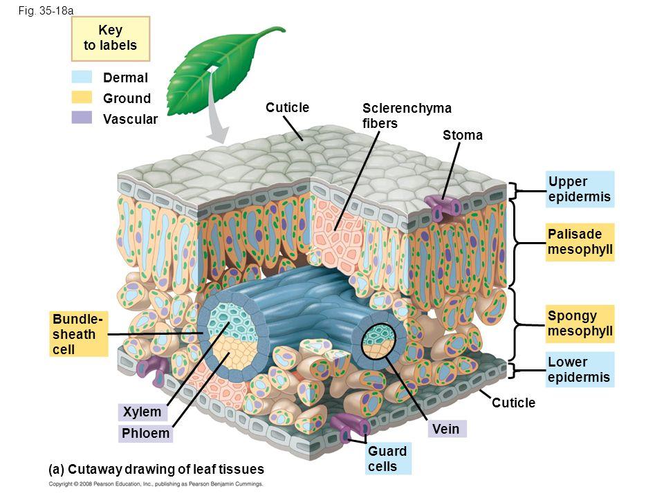 (a) Cutaway drawing of leaf tissues