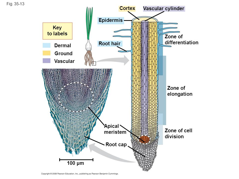 Cortex Vascular cylinder Epidermis Key to labels Zone of