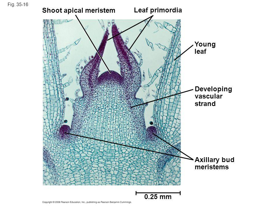 Shoot apical meristem Leaf primordia Young leaf Developing vascular
