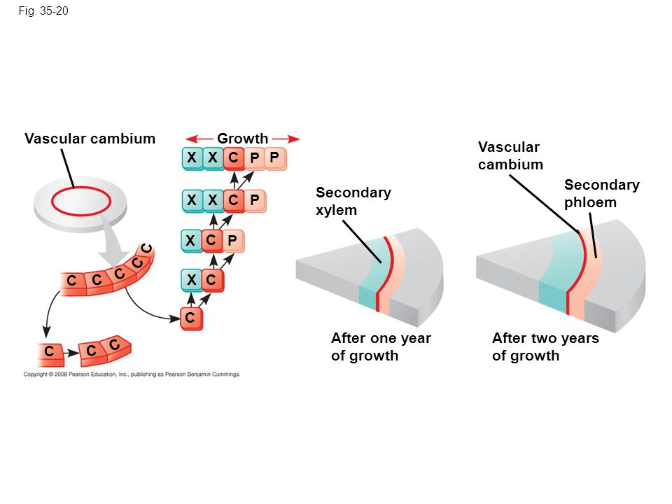 Vascular cambium Growth Vascular cambium X X C P P Secondary phloem