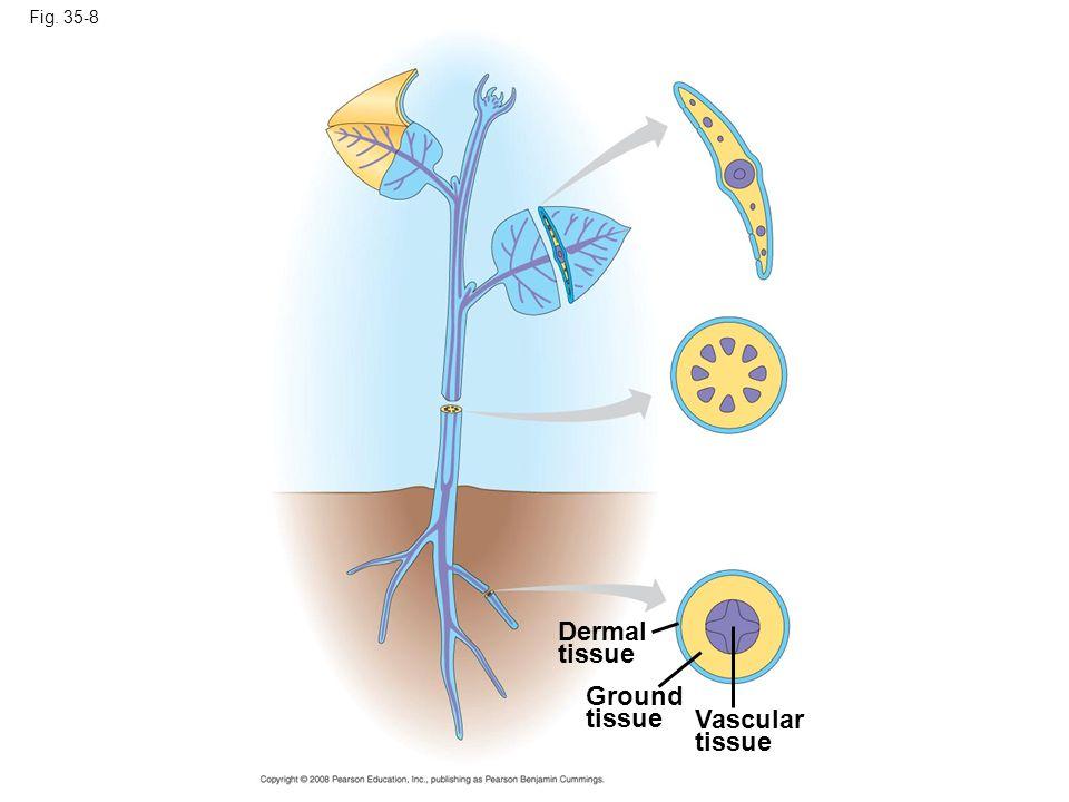 Dermal tissue Ground tissue Vascular tissue Fig. 35-8
