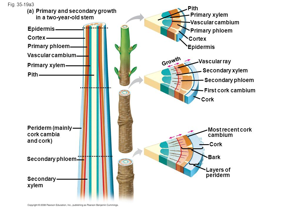 Primary and secondary growth in a two-year-old stem Primary xylem