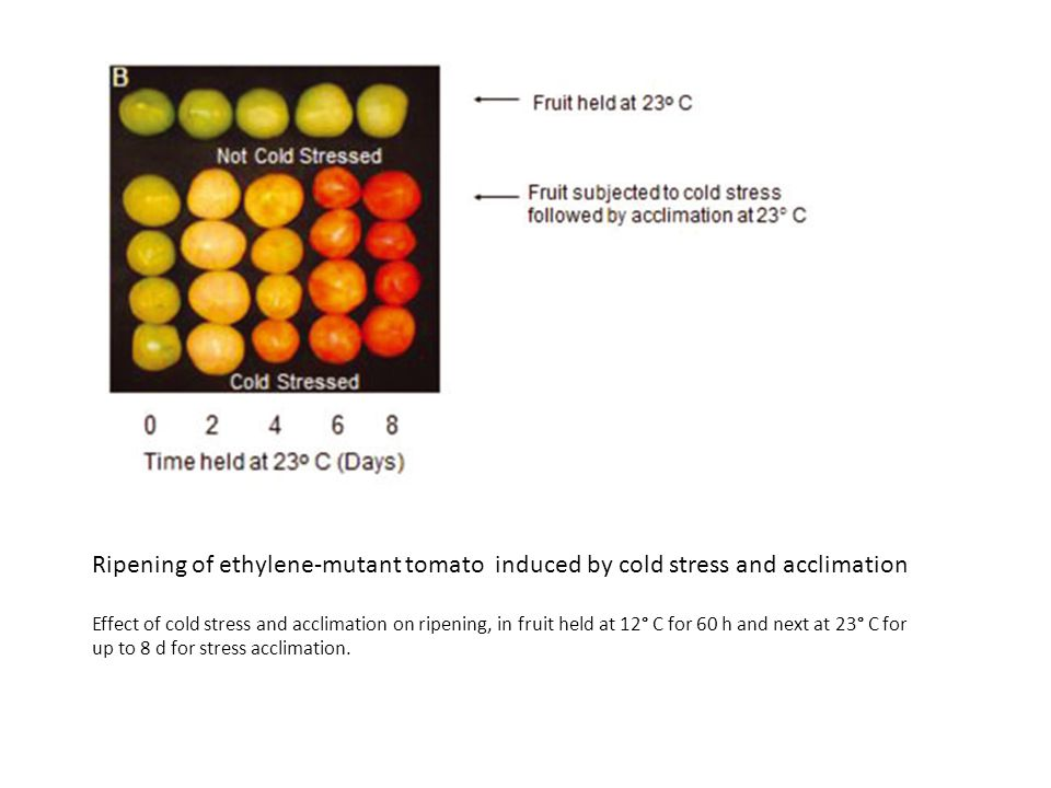 Ripening of ethylene-mutant tomato induced by cold stress and acclimation