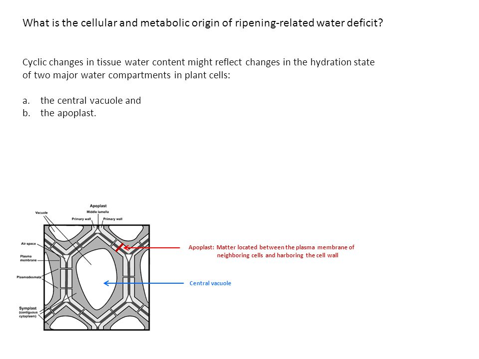 What is the cellular and metabolic origin of ripening-related water deficit