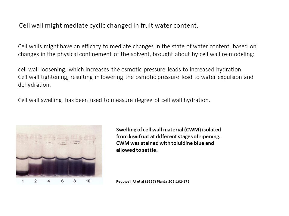 Cell wall might mediate cyclic changed in fruit water content.