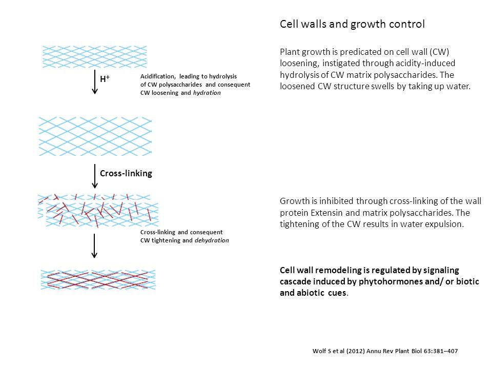 Cell walls and growth control