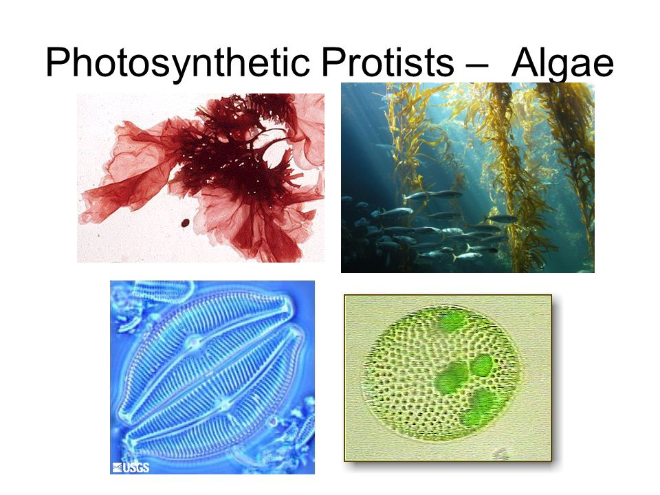Photosynthetic Protists – Algae
