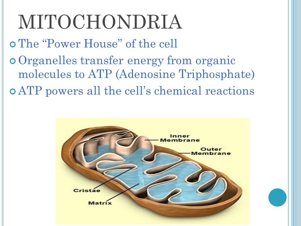 MITOCHONDRIA The Power House of the cell