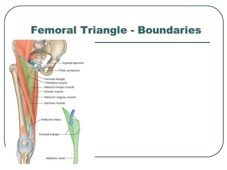 Femoral Triangle - Boundaries